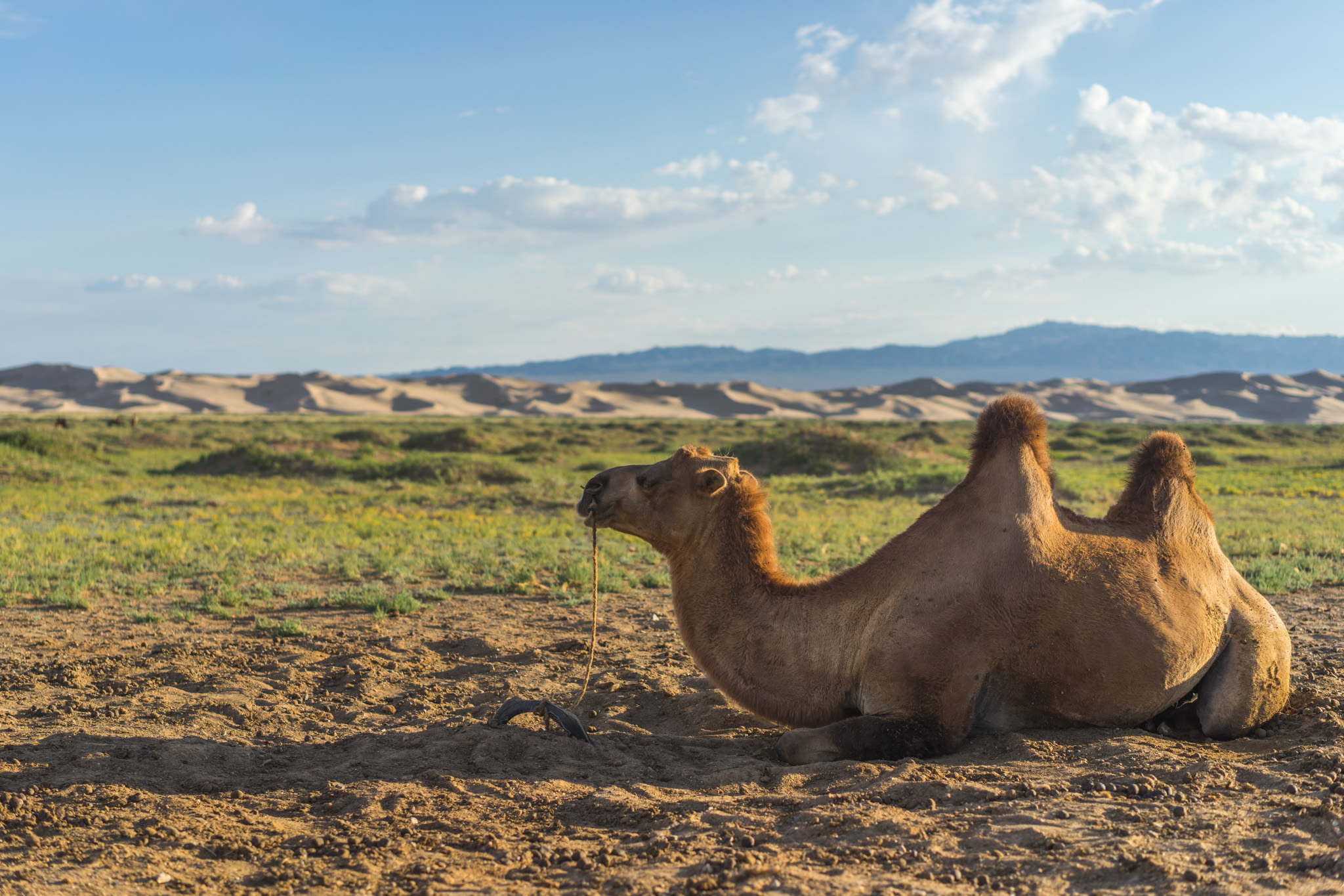Camel chillin' in the Gobi Desert