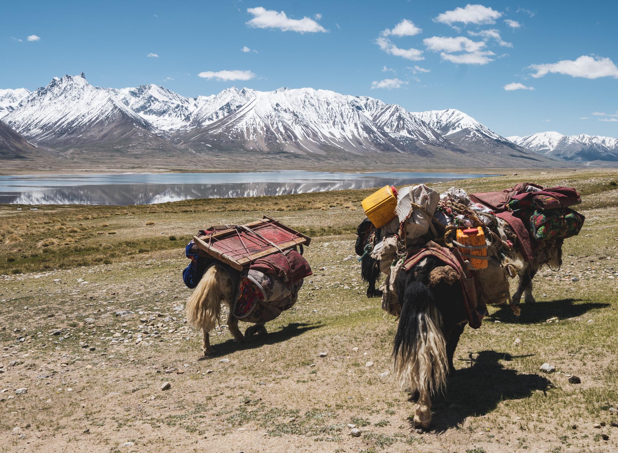 Yaks near Chaqmaqtin Lake in the Wakhan Corridor