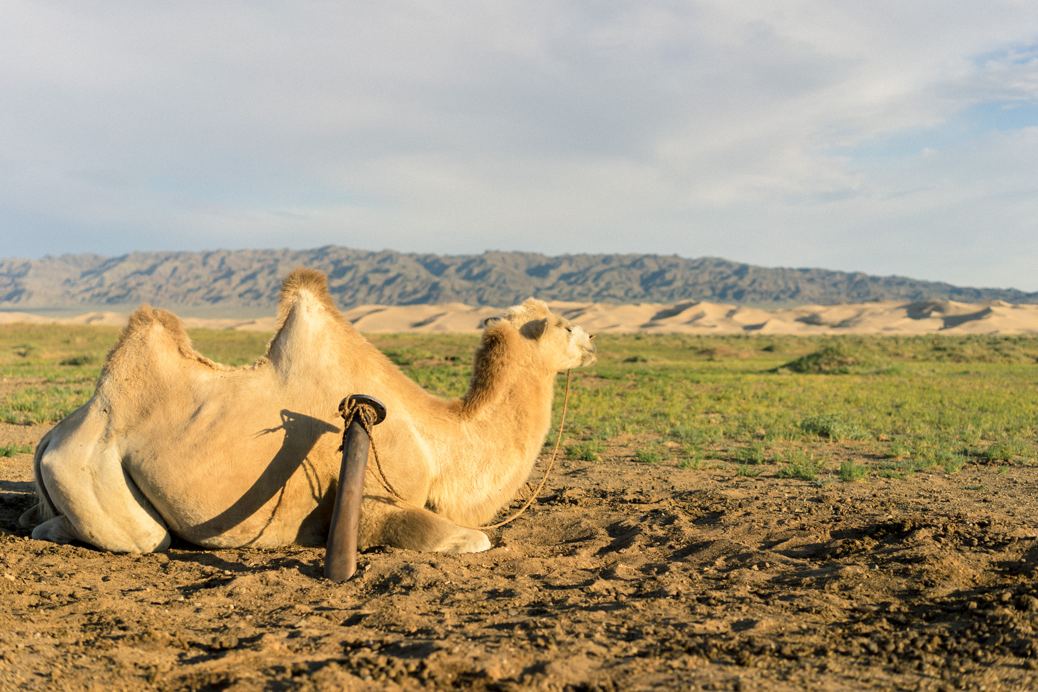 Just a camel chilling in the Gobi Desert